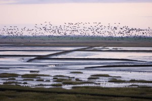 The Wadden Sea supportes a diverse population of birds and water life.